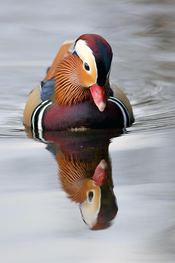 Bird Photograph - Mandarin Reflection by Grant Glendinning
