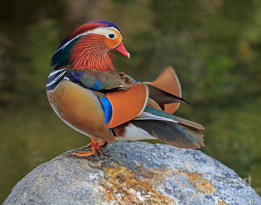 Mandarin by Robert Pilkington