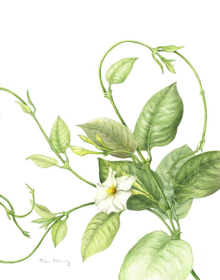 Flower Painting - Mandevilla Vine by Fran Henig