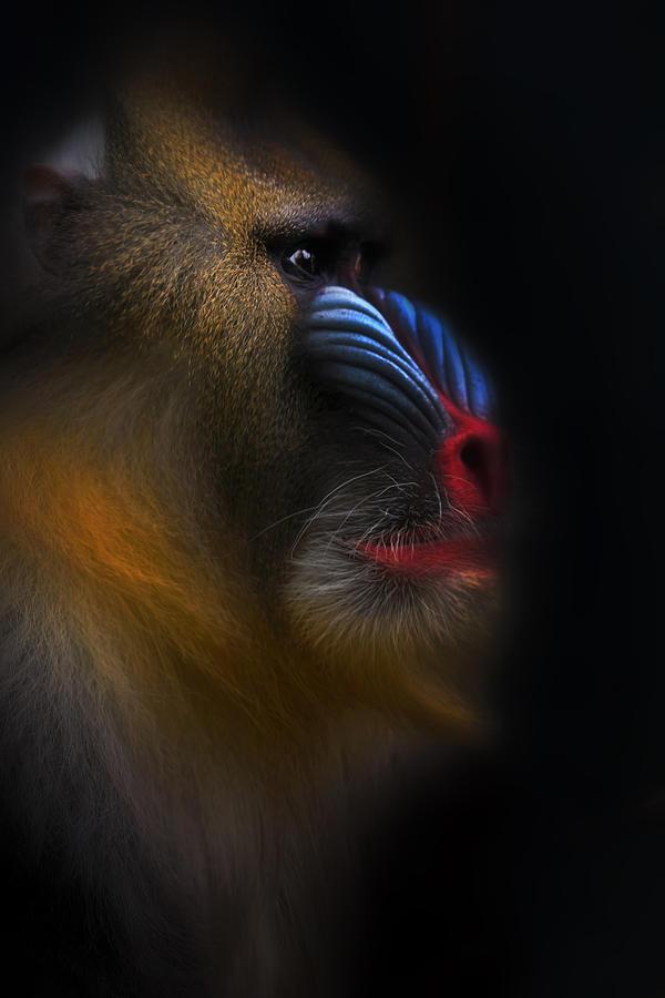 Mandrill Photograph - Mandrill Monkey Male Closeup Portrait by David Gn