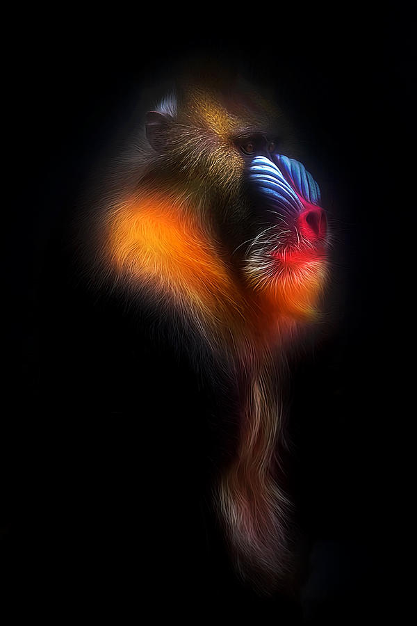 Mandrill Photograph - Mandrill Monkey Male Portrait II by David Gn