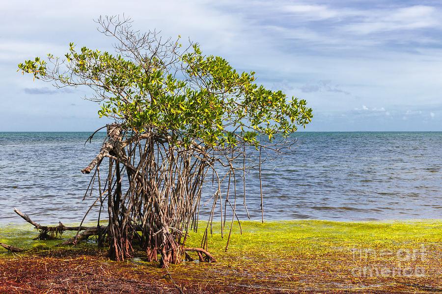 Mangrove Photograph - Mangrove At Florida Keys by Elena Elisseeva