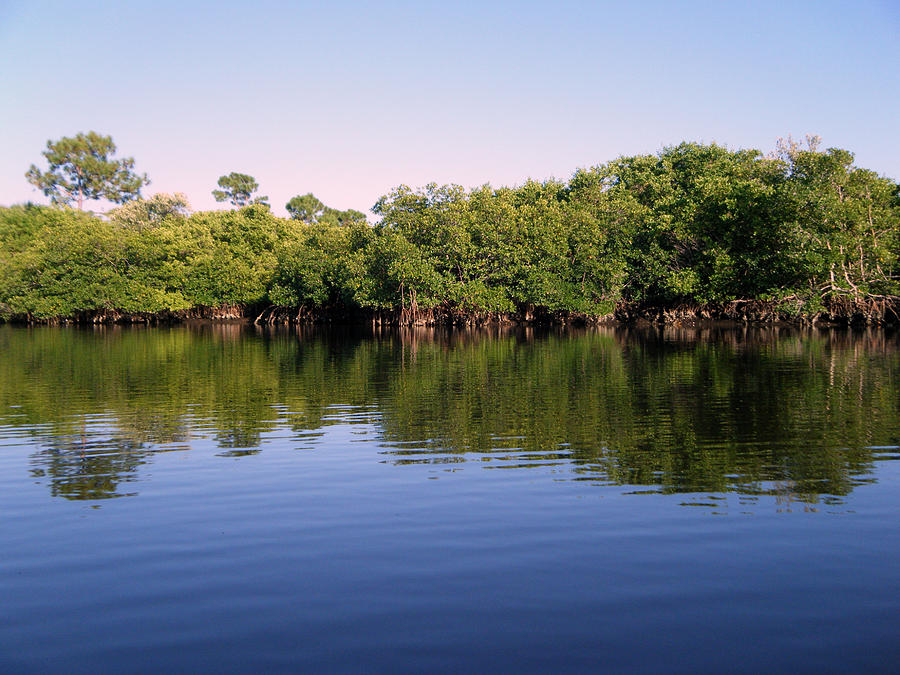 Mangroves Photograph - Mangrove Forest by Steven Scott