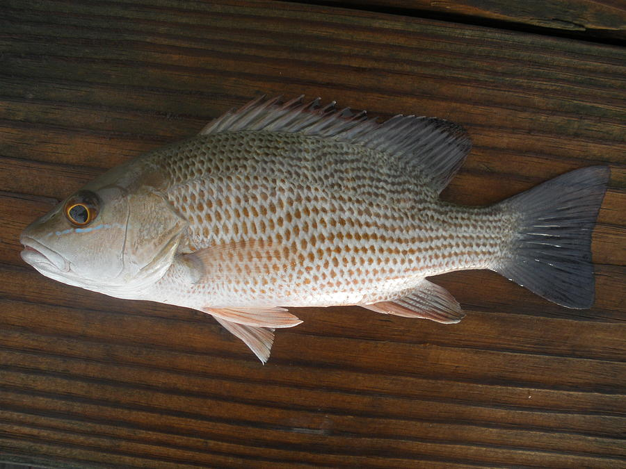 mangrove snapper photograph by robert cunningham