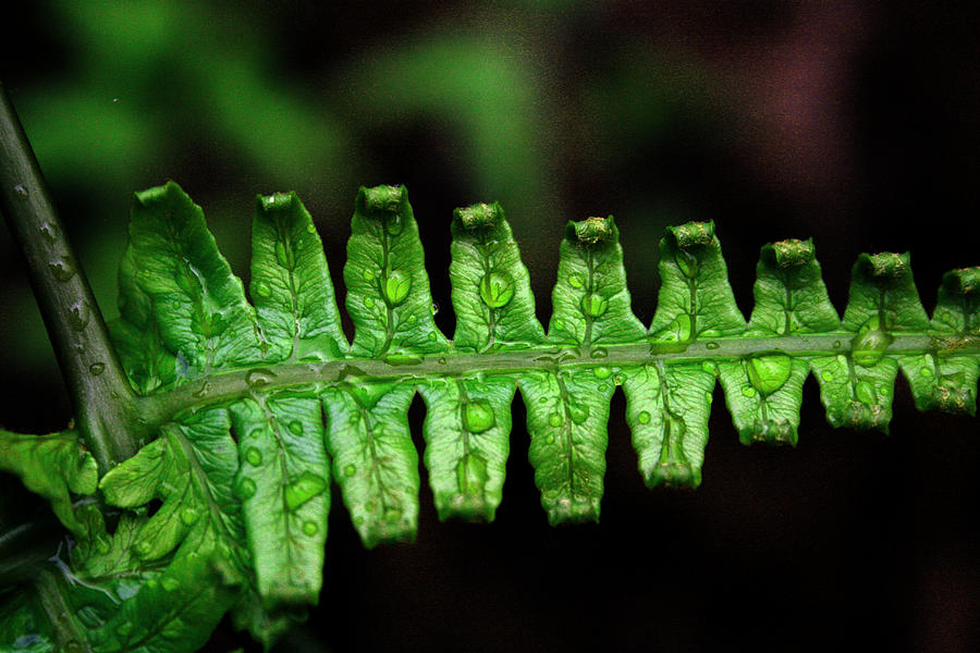 Ferns Photograph - Manoa Fern by Jennifer Bright