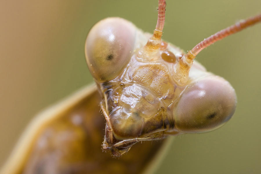 Mantis Photograph - Mantis Portrait by Andre Goncalves