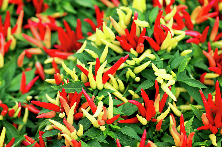 Farmers Market Photograph - Many Peppers by Todd Klassy