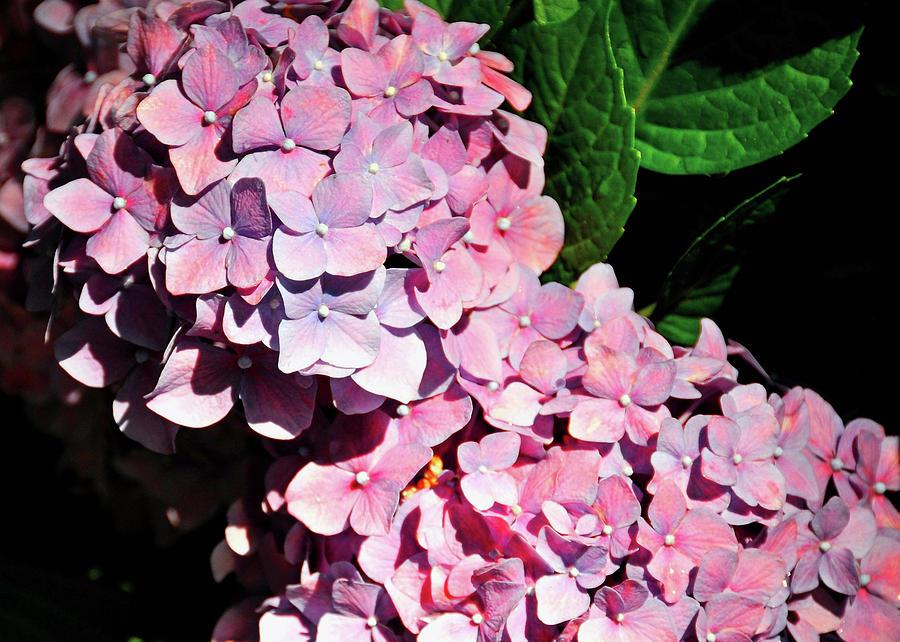 Hydrangea Photograph - Many Petals by JAMART Photography