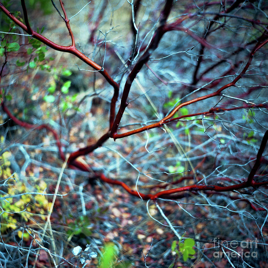 Nature Photograph - Manzanita Abstract by Norman Dean