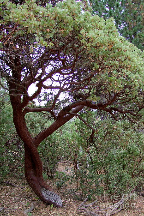 Manzanita Tree By The Road Photograph By Mary Deal