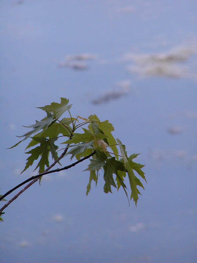 Nashville Photograph - Maple Against Reflected Sky by Randy Muir
