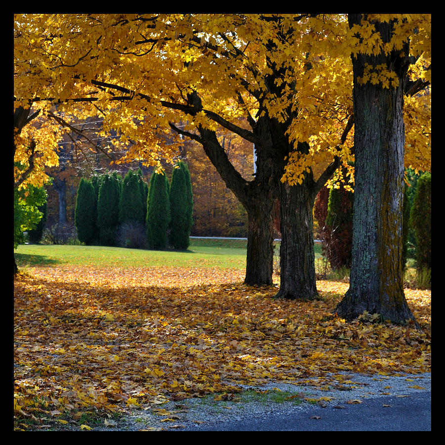 Trees Photograph - Maple And Arborvitae by Tim Nyberg