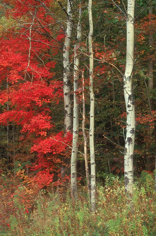 Fall Photograph - Maple And The Birch by Raju Alagawadi