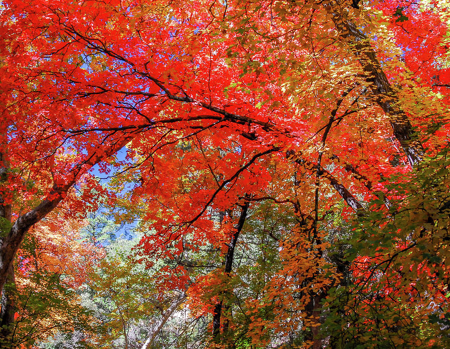 Maple Canopy Photograph