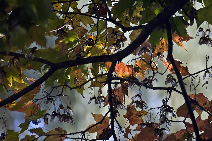 Trees Photograph - Maple Color by Ross Powell