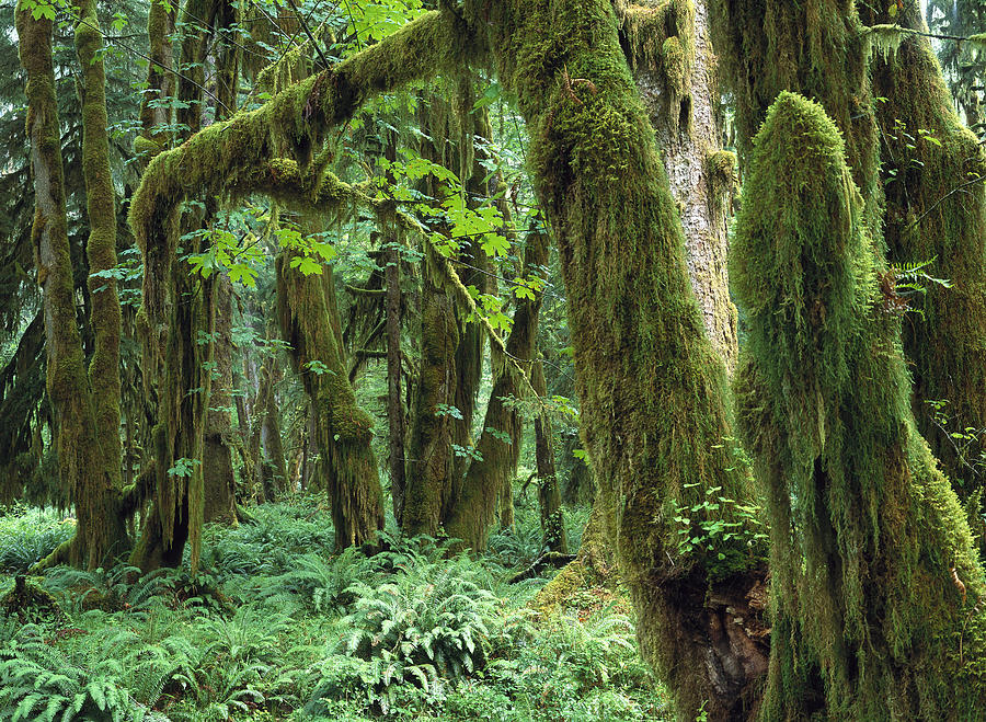 Maple Glade, Quinault Rainforest Photograph by Tim Fitzharris