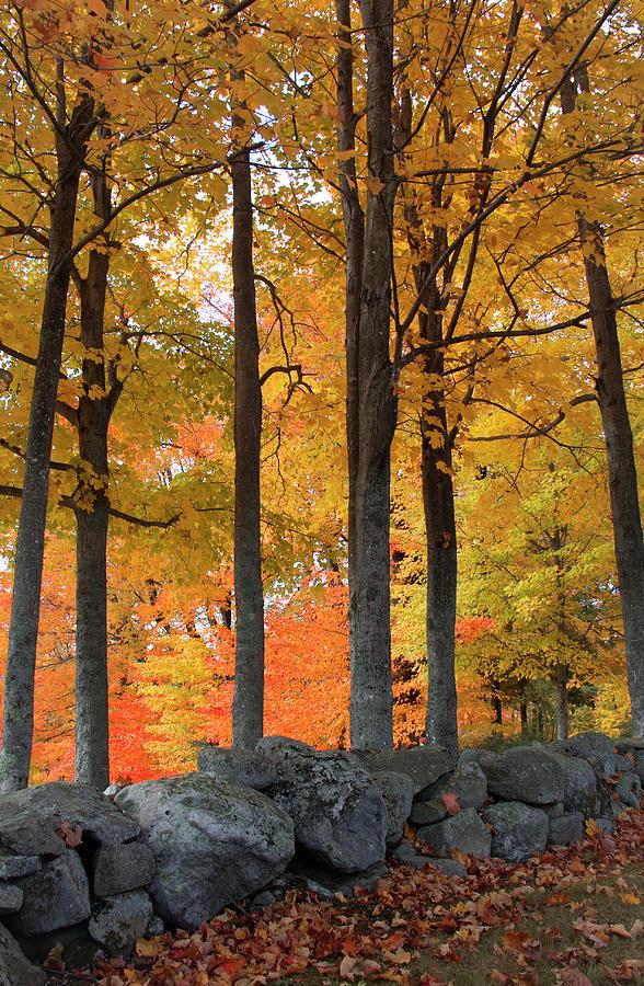 Maple Glory by Michael Friedman