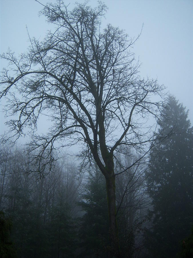 Tree Photograph - Maple In Fog by Ken Day