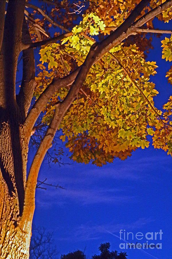 Maple Tree Photograph - Maple In The Night by Violeta Ianeva
