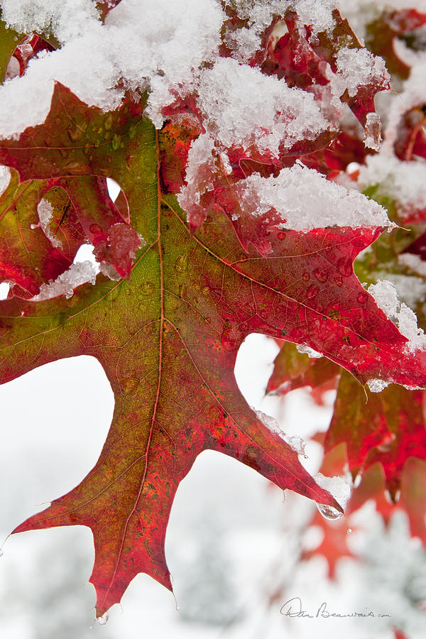 Maple Leaf And Snow 7467 Photograph