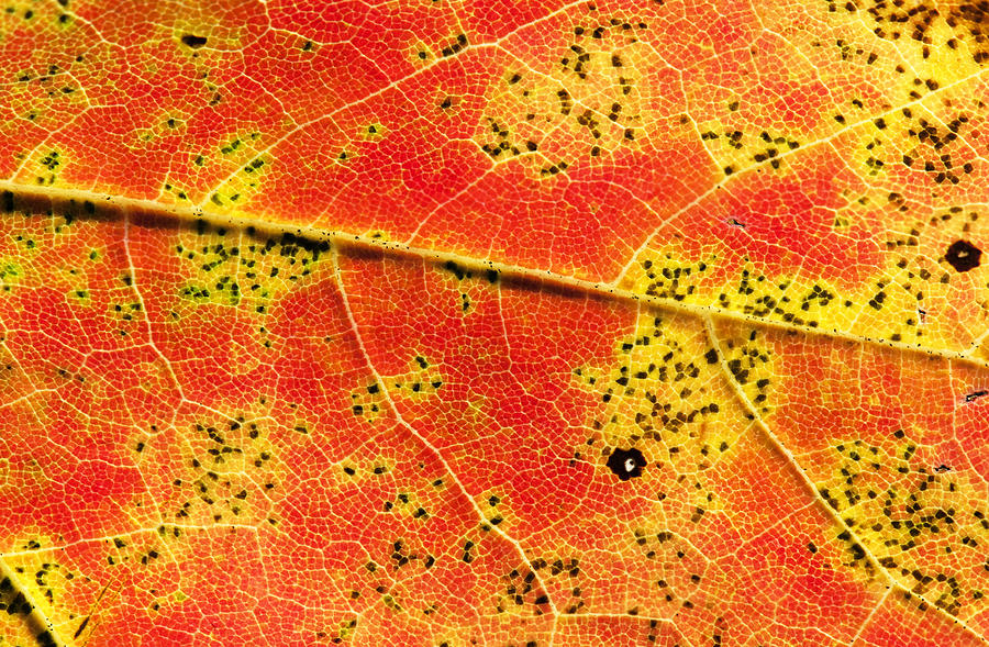 Leaf Photograph - Maple Leaf Detail by Clifford Pugliese