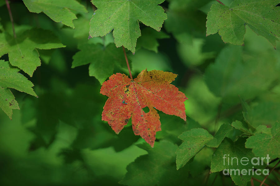 Maple Leaf Fall Color In Charleston South Carolina Photograph