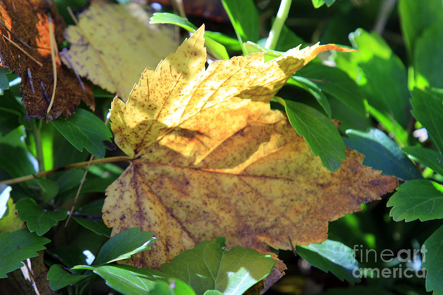 Fall Photograph - Maple Leaf by Kathy DesJardins