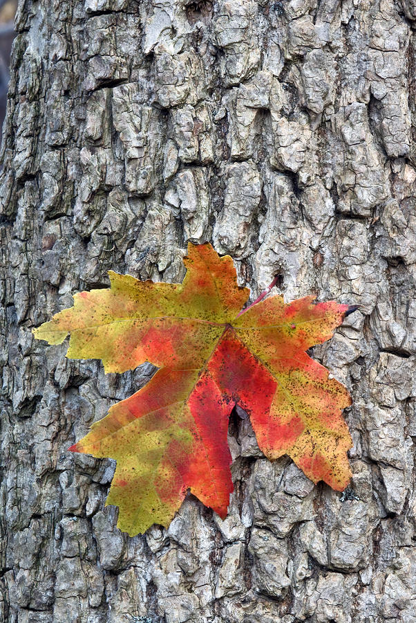 Fall Photograph - Maple Leaf On A Maple Tree by Andreas Freund
