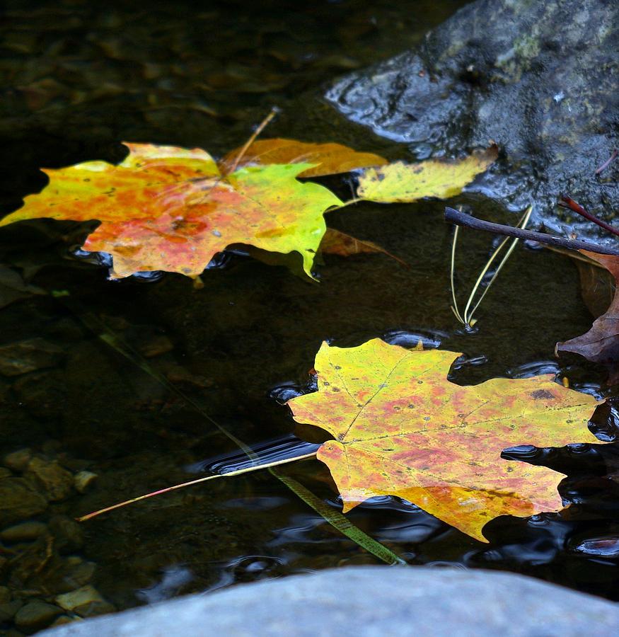 Leaf Photograph - Maple Leaf by Sean Shaw