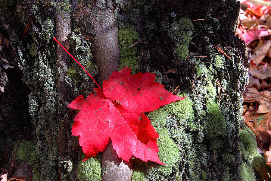 Red Maple Photograph - Maple Leaf Still Life by Charles Warren
