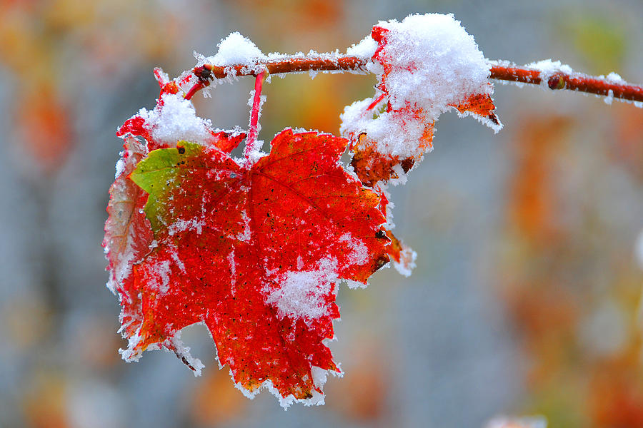 Maple Leaf Photograph - Maple Leaf With Snow by Alan Lenk