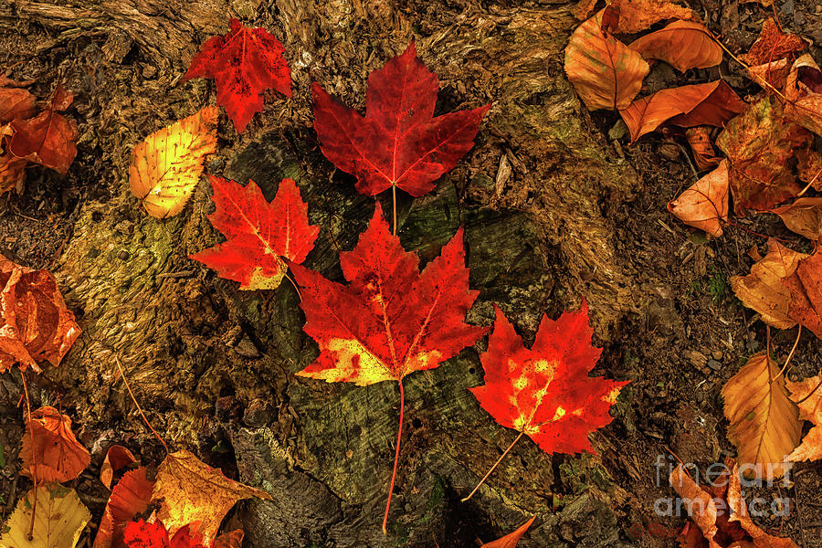 Maple Leaves Photograph by Heather Hubbard