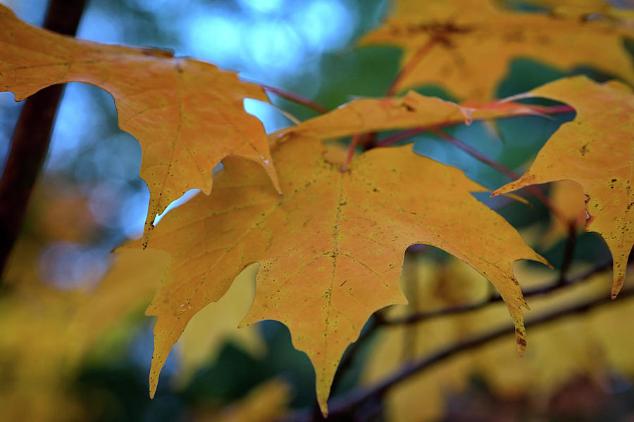 Fall Photograph - Maple Leaves In Autumn by Rick Berk