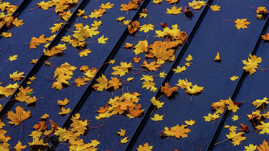 Maple Leaves on a Metal Roof by Joe Shrader