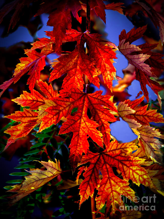 Maple Photograph - Maple Leaves by Robert Bales