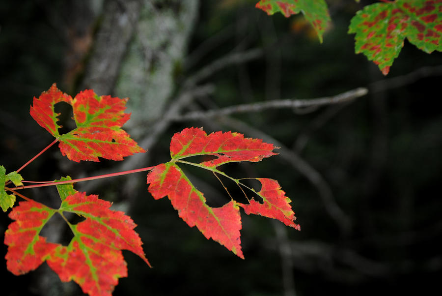 Maple Leaves Photograph - Maple Leaves by Steven Scott