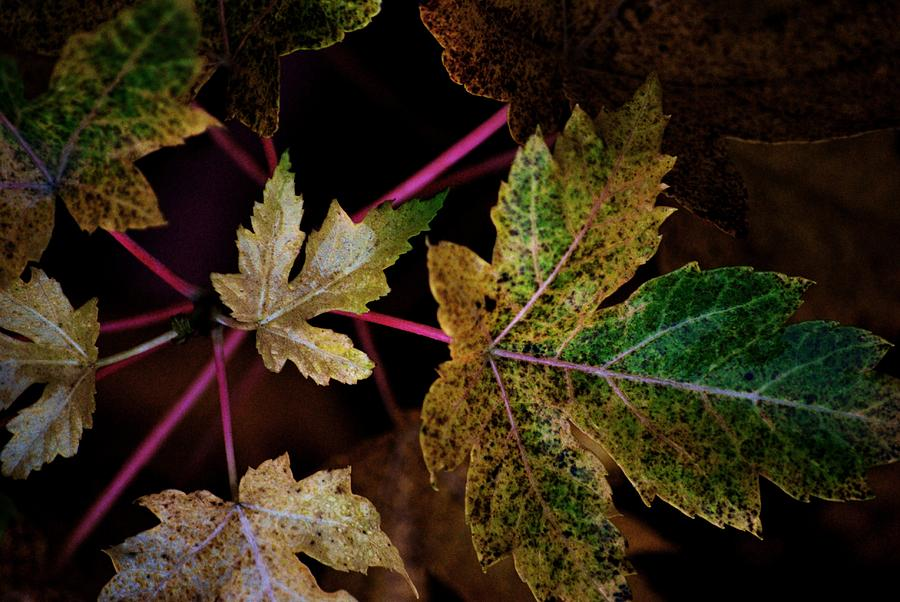 Fall Photograph - Maple Spatter by Trudi Southerland