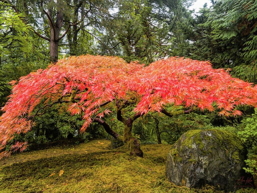 Maple Spread Photograph