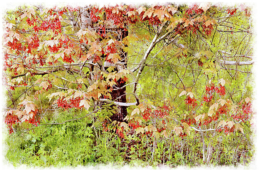 Nature Digital Art - Maple Tree W C  by Peter J Sucy