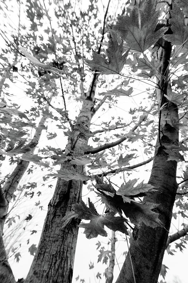 Maple Photograph - Maple Trees In Black And White by Steven Jones