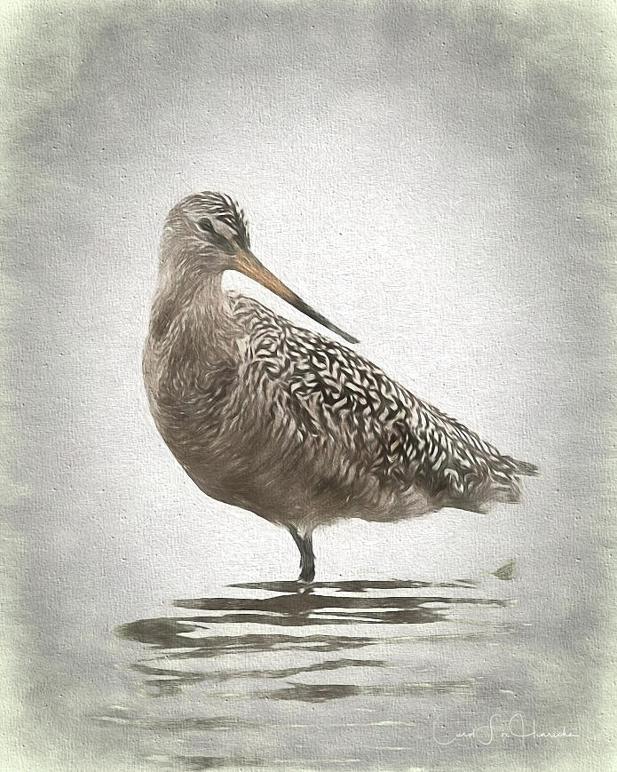 Marbled Godwit by Carol Fox Henrichs