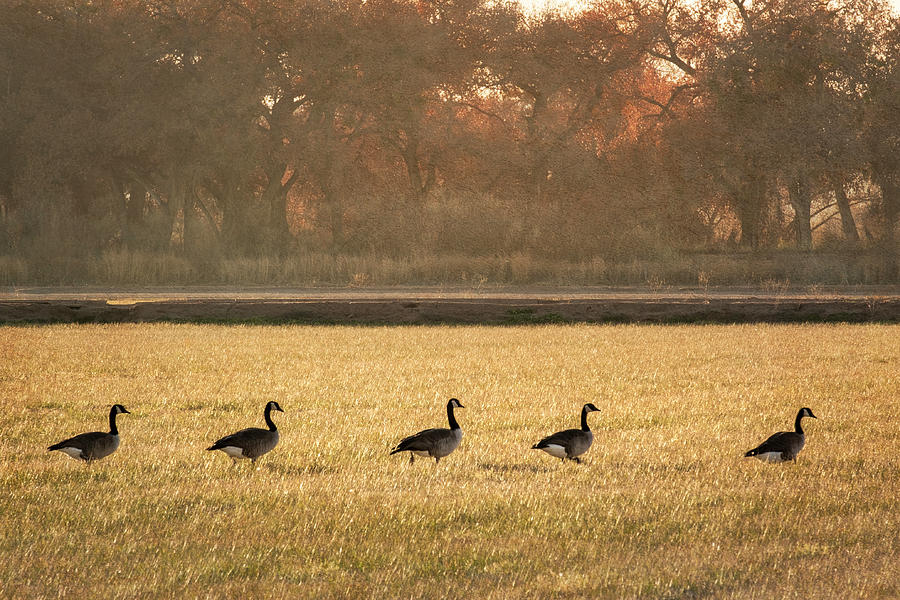 Scenic Photograph - March Of The Geese by Mary Lee Dereske