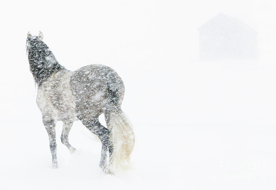 Andalusian Photograph - Mare In A Blizzard II by Carol Walker