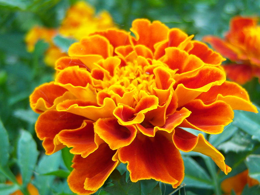 Flowers Photograph - Marigold Photograph by Vicki Berchtold