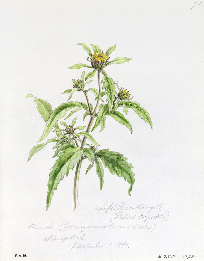Botany Painting - Marigold by WJ Linton