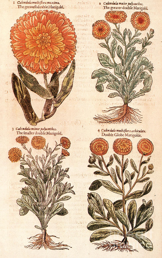 1597 Photograph - Marigolds by Granger