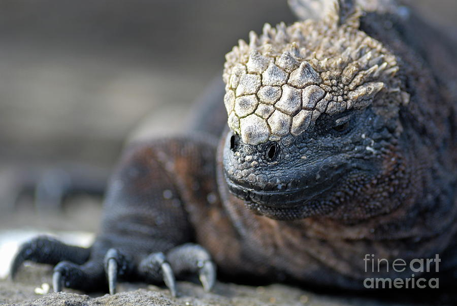 Absence Photograph - Marine Iguana by Sami Sarkis