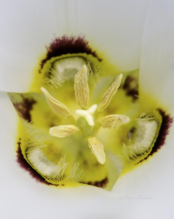 Beautiful Photos Photograph - Mariposa Lily 3 by Roger Snyder