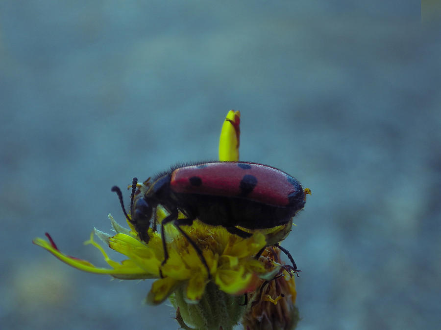 Insect Photograph - Mariquita by Ivan Gomez