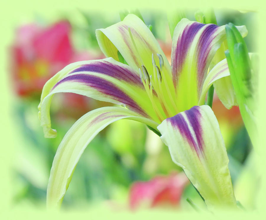 Marked Lily - Daylily by MTBobbins Photography